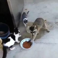 15 Funny Animal Videos That Will Brighten Your Day: Raccoon Eating Cats' Food Sneaky Animals, Cute Funny Animals, Cute Baby Animals, Funny Cute, Funny Dogs, Cute Animal Videos, Cool Pets, Picture Captions, Funny Animal Pictures