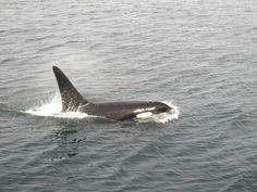 Spot Orcas in Washington state. Check out Anacortes as a jumping-off point.
