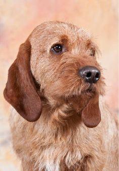 Basset Fauve de Bretagne - American Kennel Club