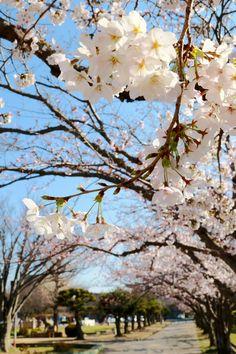 カメラの学校 » これはキレイ!ユーザーからの「桜」写真を集めてみました Spring Aesthetic, Kpop Aesthetic, Sakura Cherry Blossom, Cherry Blossoms, Kobe Japan, The Enchantments, Wallpaper Pictures, Cherry Tree, Japanese Design
