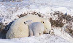 #polar bear #eisbär