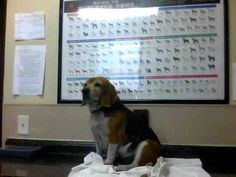 Betty - a 13 year old beagle - poor thing who could just leave her there and not let her finish out what little life she has left in a home