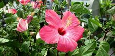 How to Grow Hibiscus | Today's Homeowner