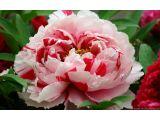 The World's Best Photos of paeoniasuffruticosa and 牡丹 Buy Peonies, Pink Peonies, Flora Garden, Garden Plants, Peony Flower, Flower Petals, Flower Garden Design, Colorful Garden, Large Flowers