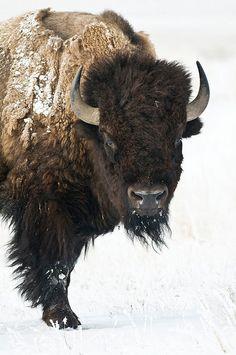 Go Buffs - University of Colorado