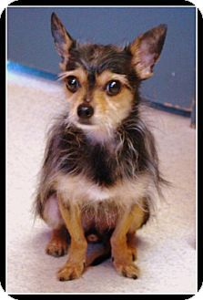 Raleigh, NC - Chihuahua/Yorkie, Yorkshire Terrier Mix. Meet Jack and Sketcher, a dog for adoption. http://www.adoptapet.com/pet/12772062-raleigh-north-carolina-chihuahua-mix
