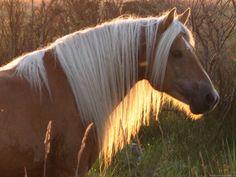 haflinger austrian horse 1600x1200.jpg