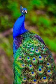 India's national bird, the peacock are known for their colorful tails…