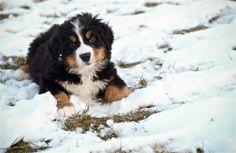 Our 7 week old Bernese Mountain Dog enjoying the snow.