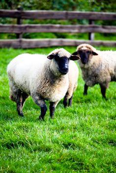 farm sheep, Germany