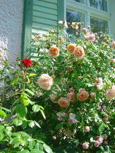 Rose Maiden´s Blush