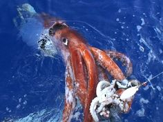 COLOSSAL SQUID In a photo released by a researcher with Japan's National Science Museum showed a giant squid attacking a bait squid off the Ogasawara Islands, south of Tokyo. The research team, led by Kubodera, has succeeded in filming the giant squid Deep Sea Creatures, Weird Creatures, Mythical Creatures, Kraken, Colossal Squid, Giant Squid, Especie Animal, Cryptozoology, Ponds