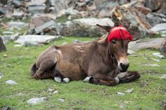 Lahaul and Spiti, Himachal Pradesh, India | REDHEAD MULE | This mule loves the decoration so much she doesn't allow it to be taken off, even on a rest day, seriously! She wears more decoration on the trail too!