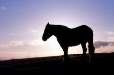 Yururi Island horse