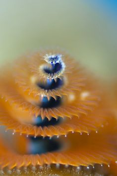 Wow, under the sea life Christmas Tree Worm :) spiral Underwater Creatures, Underwater Life, Ocean Creatures, All Nature, Science And Nature, Foto Macro, Life Under The Sea, Life Aquatic, Deep Blue Sea