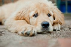 Keep the dog a puppy. Sell it as a type of breed mix that makes the dog look like a puppy (while getting new retrievers)
