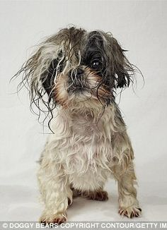 Canon is a Shih Tzu who prefers the Veronica Lake peek-a-boo. Her hair is kept long so it can be tied with ribbons