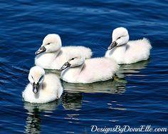 White Baby Swans Nursery Art Fine Art by DesignsByDonnElle on Etsy