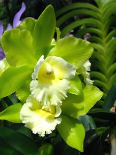 Cattleya Orchids - Orchids Plus Green Orchid, Orchid Plants, Exotic Plants, Green Flowers, Tropical Flowers, Pretty Flowers, Flowers Garden, Planting Flowers, Cactus Flower