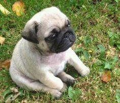 Fat pug cub