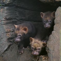 Baby Bush dogs, (Chester Zoo) - members of the canine family, descended from Maned wolves, but not closely related to any other wolf or fox.