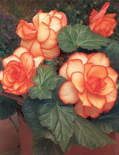 Picotee Apricot And Scarlet Begonia @ Hollandbulbfarms.com