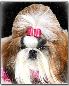 Beautiful Shih Tzu owned by Luiz Kamnitzer