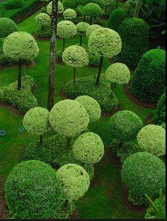 A lollipop garden: wrightii tomentosii in the Nong Nooch Tropical Garden near Pattaya in southern Thailand.