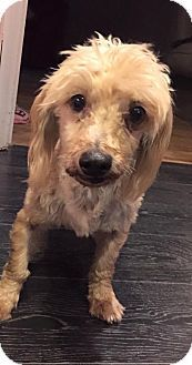 Add me  to your  favorites Hello, Sharon Boulanger.  Not you?  View My Favorite Pets List   I'm being cared for by: Furkid Rescue  Help me get seen & adopted!       Facts about Sunny Breed: Havanese Color: Tan/Yellow/Fawn Age: Adult Size: Small 25 lbs (11 kg) or less Sex: Male Sunny's Info... I am already neutered, purebred, up to date with shots, and good with dogs.  Sunny's Story... Sunny is a purebred, gold Havanese. He is 6 years of age. Sunny does well with other dogs, and loves to…