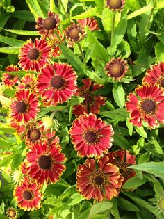 Helenium hybrida Mariachi™ 'Bandera' , 2018 Eberts, planted one on the NE corner of alley garden and one right next to Little Quick Fire/Guernsey Clematis trellis. Deer Resistant Garden, Clematis Trellis, Planting Plan, Seed Catalogs, Back Gardens, Urban Landscape, Native Plants, Go Green, Perennials