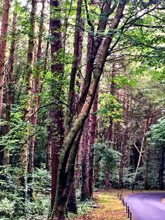 Tall trees lining a narrow road at Ashford Castle. #trees #forest #Ireland #CountyMayo #Cong #greeneryscenery #greenery #nature #travel