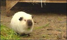 Sooty Gene | Romeo guinea pig causes baby boom  well,I WAS doing a search for the sooty gene  ;)