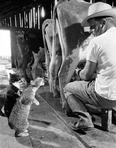 Cats....I've watched my paw-paw do this while milking at the barn.  I miss him... And the barn.... And the cow .... And my childhood. mab