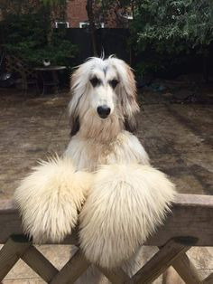 Hound Breeds, Dog Breeds, Goofy Dog, Most Beautiful Dogs, Afghan Hound, Big Dogs, Afghans, Mans Best Friend, Animal Photography