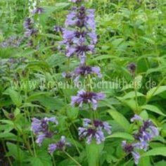Nepeta manchuriensis 'Manchu Blue' - Hohe Katzenminze - Blau - Rosenbegleiter - Pflanzen - Rosen von Schultheis