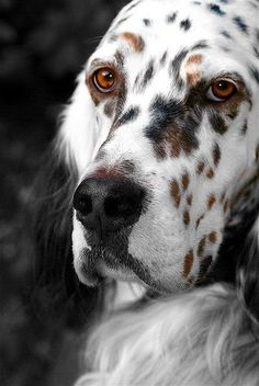 English Setter, Just saying this is one of the most beautiful Dog pics I have ever seen. (Our precious Phoebe was an English setter. Baby Dogs, Pet Dogs, Dogs And Puppies, Dog Cat, Doggies, Pet Pet, Animals Beautiful, Cute Animals, Most Beautiful Dogs