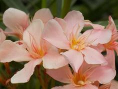 Bougainvillea, Garden, Plants, Flowers, Garten, Lawn And Garden, Gardens, Plant, Gardening