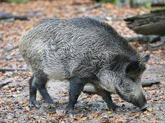 Was suchte das Wildschwein in dem Supermarkt? (Symbolbild) | Foto: dpa