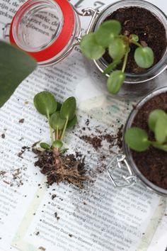 pilea plantje stekken