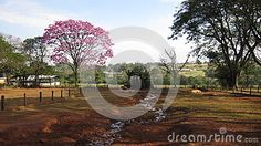 Photo about A countryside landscape with a beautiful pink ipe next to pigs. Image of cavatapound, mammal, biology - 96830708 Countryside Landscape, Pigs, Stock Photos, Natural, Image, Beautiful, Pork, Baby Piglets, Au Natural