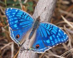 I ❤ butterflies . . . Junonia rhadama est un Nymphalinae malgache aux ailes iridescentes présent dans chacune des 3 îles des Mascareignes. Le mâle est d'un bleu très pur alors que la coloration des femelles tire sur le violacé. Ses chenilles vivent sur les Picaniers du genre Barleria. les Barleria de La Réunion sont aussi la plante-hôte d'un Alucitidae, dont je vous enverrai la photo si mon élevage réussit.
