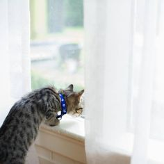 cat ♥ Kittens Cutest, Cats And Kittens, Cute Cats, Funny Cats, Who Goes There, Cat Window, Beautiful Cats, Shades Of Blue, Cat Lovers