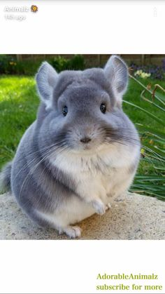 Tagged with Chinchilla, fluffy butts; Chinchillas' butts are so round and fluffy, they look unreal. Cute Funny Animals, Cute Baby Animals, Animals And Pets, Cute Small Animals, Nature Animals, Chinchillas, Pet Rodents, Hamsters, Chinchilla Baby