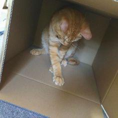 . あそこに丁度シールが貼ってある 最近はネコじゃらしとかぬいぐるみとか遊んで欲しいもの持ってくるようになった(笑) 持ってきてお座りしてこっちみてる… イヌみたい♡ ✰ #ダンボールねこ #ネコ#ねこ#猫#にゃんこ#子猫#子ネコ#茶トラ#愛猫#ねこら部#ねこ部#ねこすたぐらむ#猫のいる暮らし#cat#cats#neko#meow#meowcat#kitty#cute#pet#catlover#picneko#catstagram#instacat