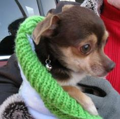 Meet Pedro a Petfinder adoptable Chihuahua Dog | Queensbury, NY | PEDRO  is a wonderful 1-2 year  old Chihuahua  that was found out in the terribly cold weather. He...