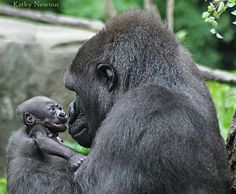 Asha with her baby Mondika - Western Lowland Gorillas @ Cincinnati Zoo & Botanical Garden Cute Baby Animals, Animals And Pets, Funny Animals, Strange Animals, Wild Animals, Happy Animals, Beautiful Creatures, Animals Beautiful, Baby Gorillas