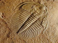 I want to make a fake trilobite fossil.