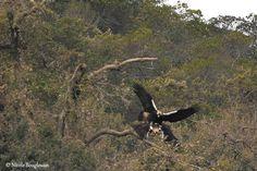 Agenda : 2ème foire ornithologique MADbird à Madrid du 12 au 14/06 : Photo: Aigle ibérique de Nicole Bouglouan. #ornithologie   #nature   #birds   #madbird   #environnement