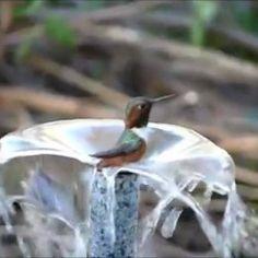 Como a natureza é linda em cada detalhe, olhe só este pequeno Beija-flor tomando banho, um ser tão pequeno, e ao mesmo tempo grande por sua beleza! Compartilhe com seus amigos do Facebook, vale a pena!!!