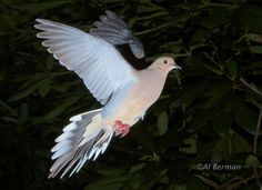 Dove png cliparts gallery free clipart picture birds for Mourning dove tattoo